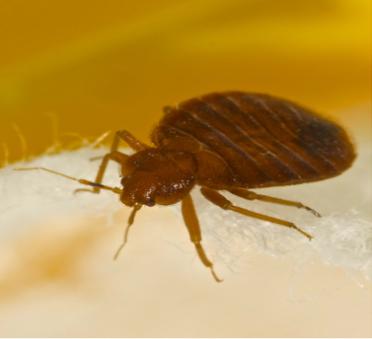 Bed Bug Exterminator   Columbus IN   Eco-Max Environmental