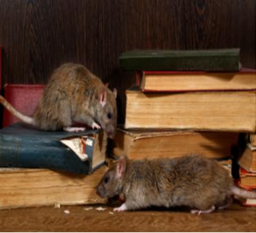 Rat Exterminators | Eco Max | Columbus IN